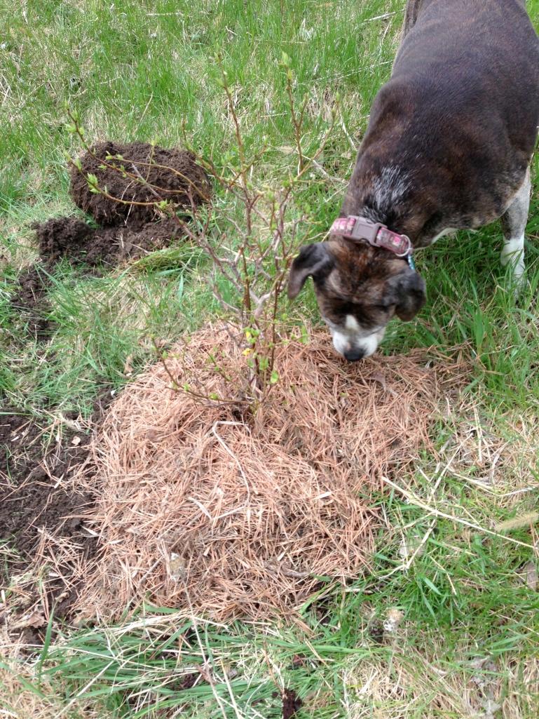 Sadie checks our work on the blueberry bushes.
